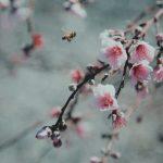 Abeja acercándose a las flores del cerezo, con fondo gris.