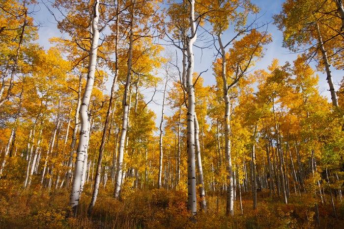 No es lo mismo el otoño en Mendoza, árboles amarillos.