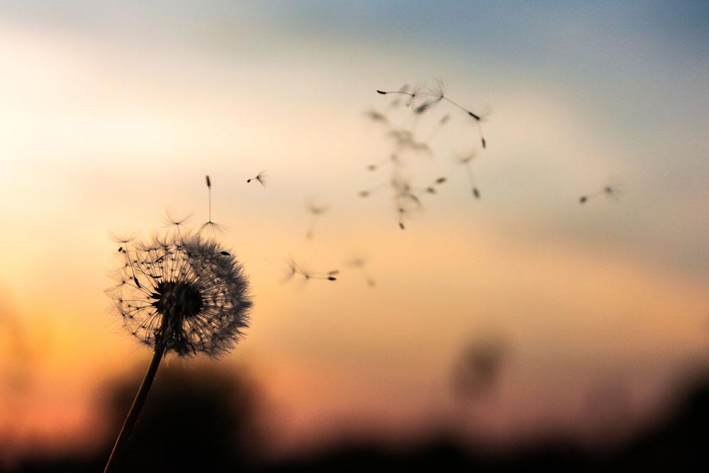 Dandelion soplado al viento con control en un atardecer.