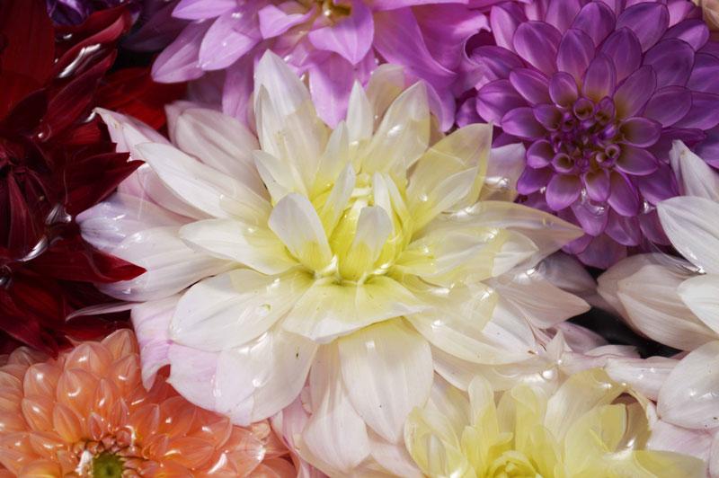 Flores multicolor en la primavera de Japón.