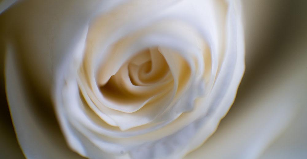 Macrofotografía de una rosa blanca.