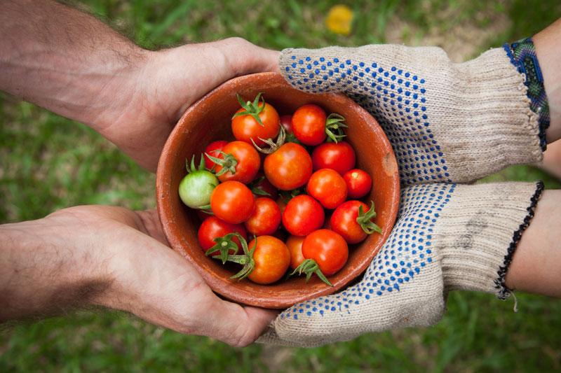 Trabajos de permacultura: personas sosteniendo tomates cherry orgánicos.